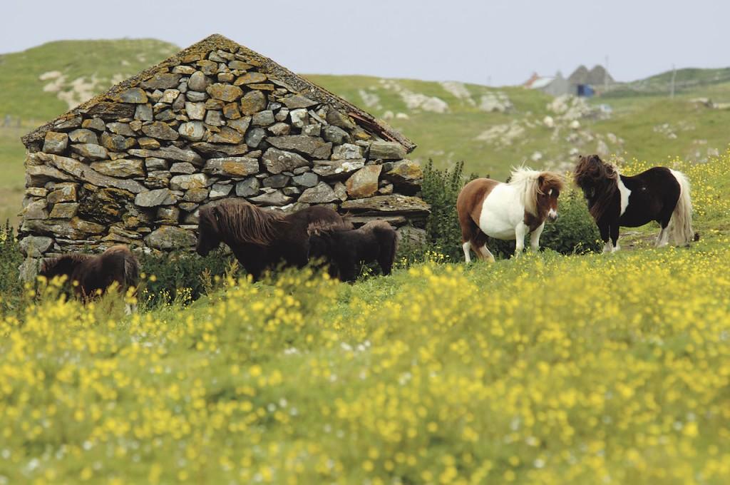 foto_ponys_shetlandeilanden
